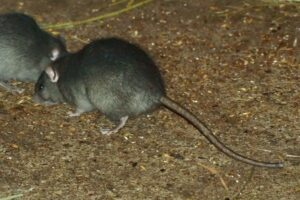 rodent control services Pest Control Solutions Gilbert AZ